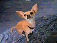 Taco Bell Chihuahua on Godzilla's Tail