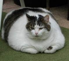 File:Fat cat.jpg