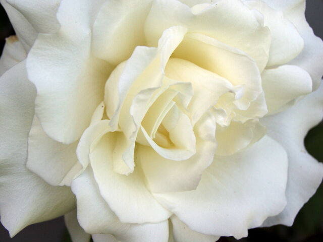 File:White Rose.jpg