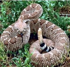 File:Rattlesnake.jpg