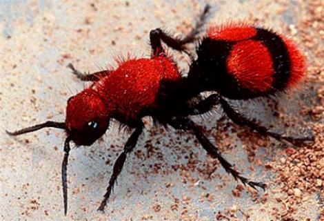File:Cow Ant.jpg