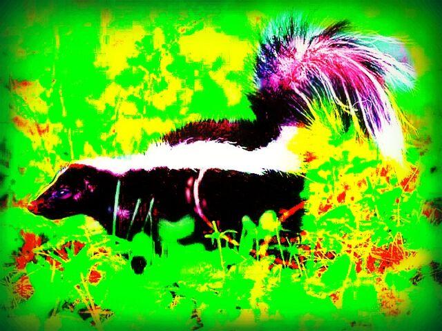 File:Skunk-in-grass-800x600.jpg
