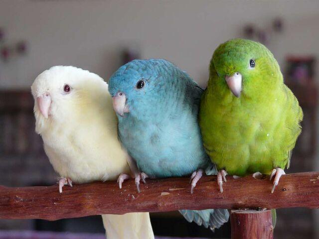 File:3 Parakeets.jpg