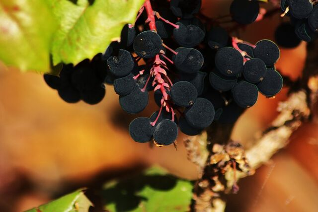 File:Nightlock berries by princesspomegranate-d2zdjse.jpg