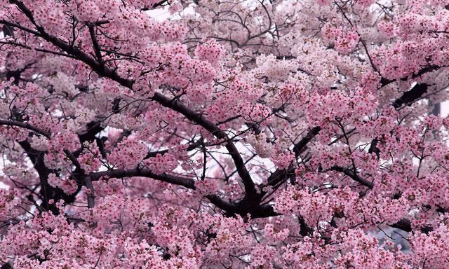 File:Cherrytrees.jpg