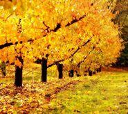 Orchard Pinna 11