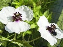 220px-SagittariaSagittifolia-bloem-kl