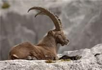 File:Alpine Ibex.jpg