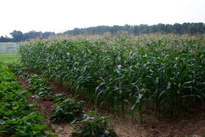 File:Incredible Sweet Corn 2004.jpg