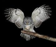 Owl Mutt
