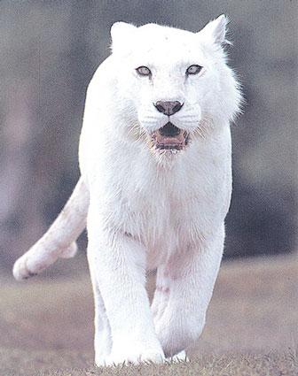File:White tiger.jpg