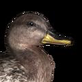 Gadwall female hybrid