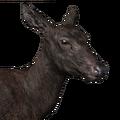 Roosevelt elk female melanistic
