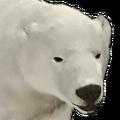 Polar bear female common