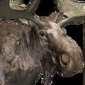 Moose male piebald