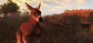 Kangaroo 03