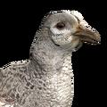 Pheasant female leucistic