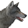Grey wolf male common