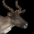 Reindeer female common