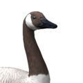 Canada goose male brown leucistic