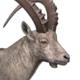 Alpine ibex male common