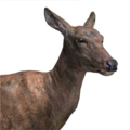 Red deer female common