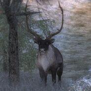 Species Reindeer M common