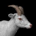 Bighorn sheep female albino
