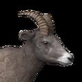 Bighorn sheep female common