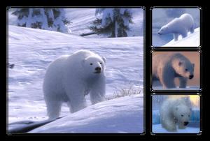 Species polar bear