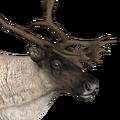 Reindeer male common