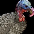 Turkey male grey