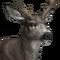 Mule deer male common