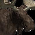 Moose male melanistic