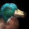 Mallard male common