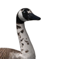 Canada goose male bald leucistic