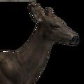 Whitetail deer female melanistic
