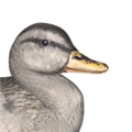 Mallard female white hybrid