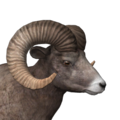 Bighorn sheep male common