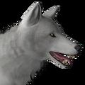 Grey wolf male leucistic