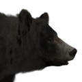 Black bear male glacier