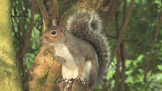 Grey Squirrel(2)