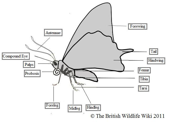 Category:Butterflies | British Wildlife Wiki | Fandom powered by Wikia