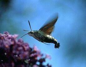 HummingbirdHawk ~ Ian Kimber