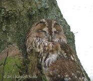 Tawny owl exIMG 3473 (800)