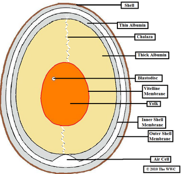 Chicken Egg Diagram
