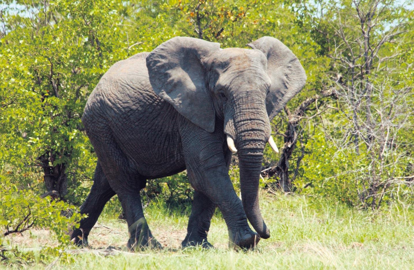 afrikanischer elefant tier lexikon wiki fandom powered. Black Bedroom Furniture Sets. Home Design Ideas