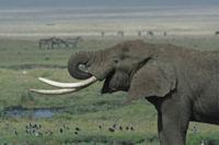 File:200px-Tanzanian Elephant.jpg