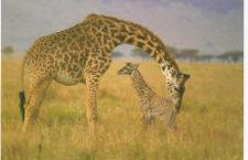 File:225px-Giraffewithbaby.jpg