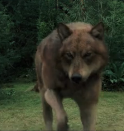 Jacob Black Wolf Form Breaking Dawn Part 2 Jacob Black in wolf form